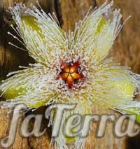 Стапелія залізистоквіткова (Stapelia glanduliflora) фото