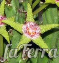 Стапелія золотисто-пурпурна (Stapelia flavor-purpurea) фото