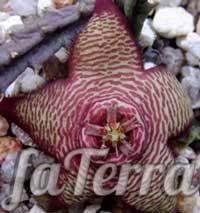 Стапелія мінлива (Stapelia mutabilis) фото
