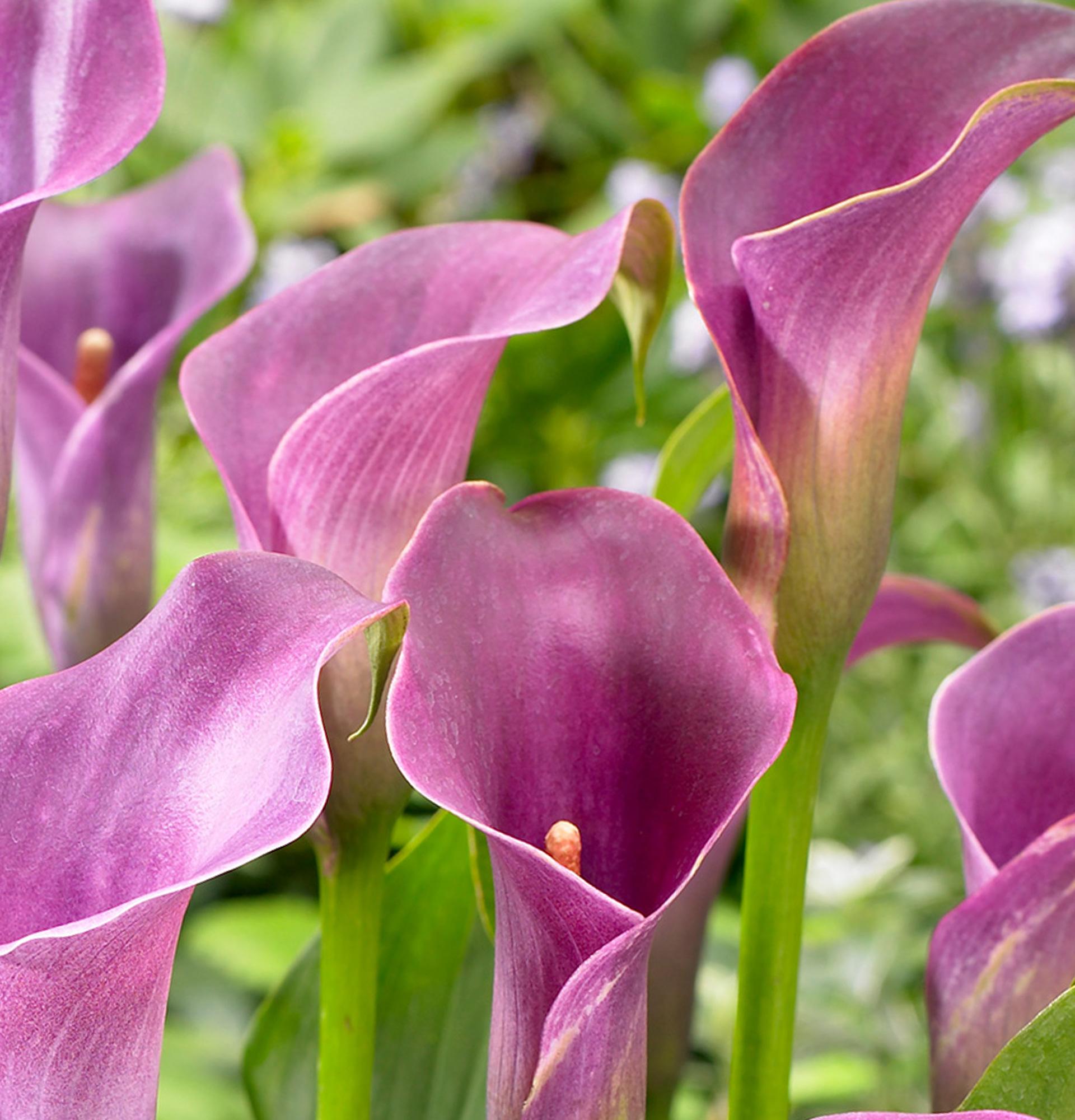 Зантедескія Лавендер Джем (Zantedeschia Lavender Gem)