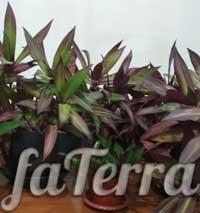 Домашнее растение рео - полив и температура