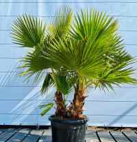 Вашингтонія (Washingtonia)